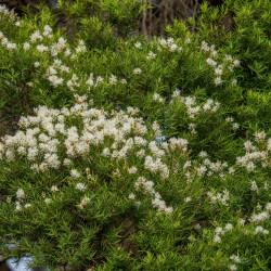 Melaleuca linariifolia de John Robert McPherson, CC BY-SA 4.0 via Wikimedia Commons