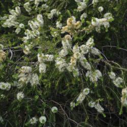 Melaleuca lanceolata de Donald Hobern from Copenhagen, Denmark, CC BY 2.0 via Wikimedia Commons