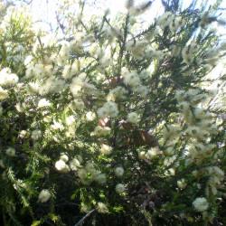 Melaleuca ericifolia de Consultaplantas, CC BY-SA 4.0, via Wikimedia Commons