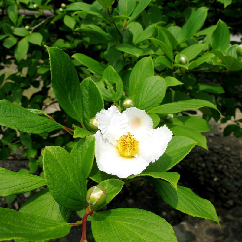 Stewartia pseudocamellia par Qwert1234 de Wikimedia commons