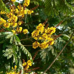 Peltophorum ferrugineum de Dinesh Valke from Thane, India, CC BY-SA 2.0 via Wikimedia Commons