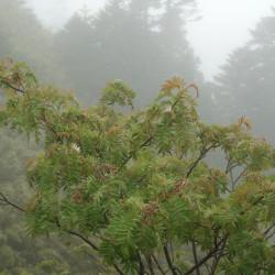 Sorbus randaiensis par Shihchuan de Wikimedia commons