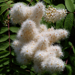 Sorbaria sorbifolia par Elstef de Pixabay