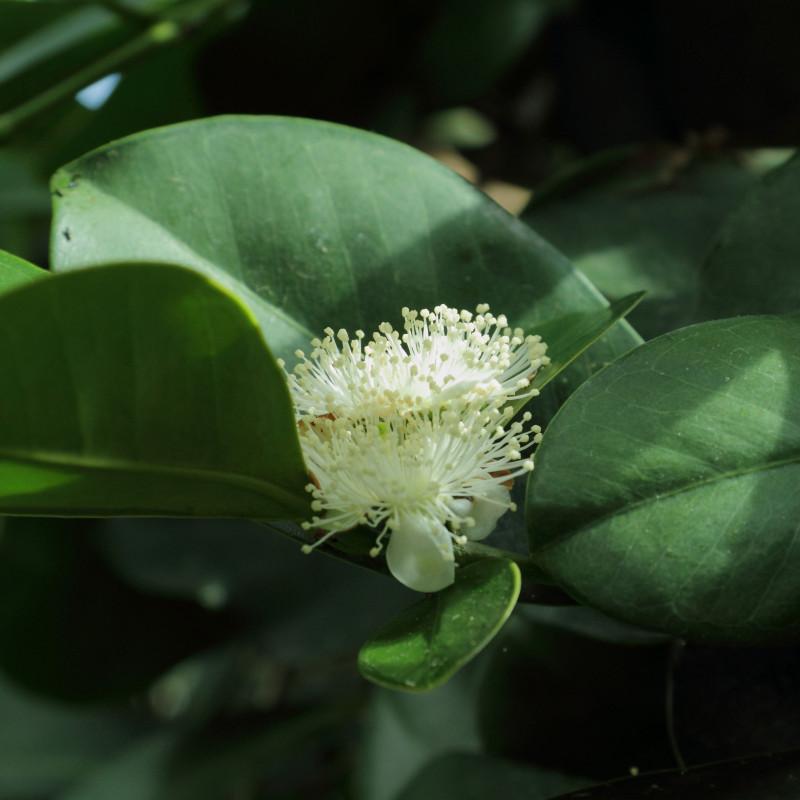 Psidium cattleianum de C T Johansson, CC BY 3.0, via Wikimedia Commons