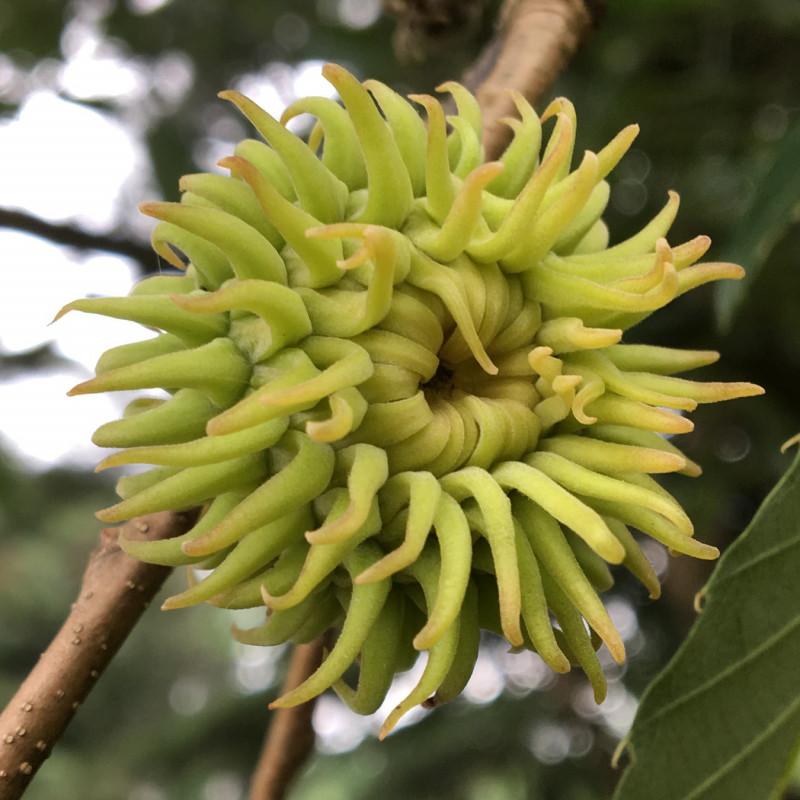 Quercus variabilis de Plant Image Library from Boston, USA, CC BY-SA 2.0, via Wikimedia Commons