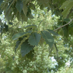 Quercus muehlenbergii de Bruce Kirchoff from Greensboro, NC, USA, CC BY 2.0, via Wikimedia Commons