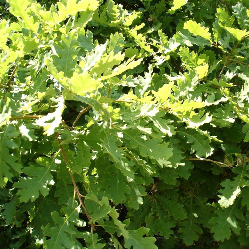 Quercus pubescens de Georgi Kunev, CC BY-SA 2.5, via Wikimedia Commons