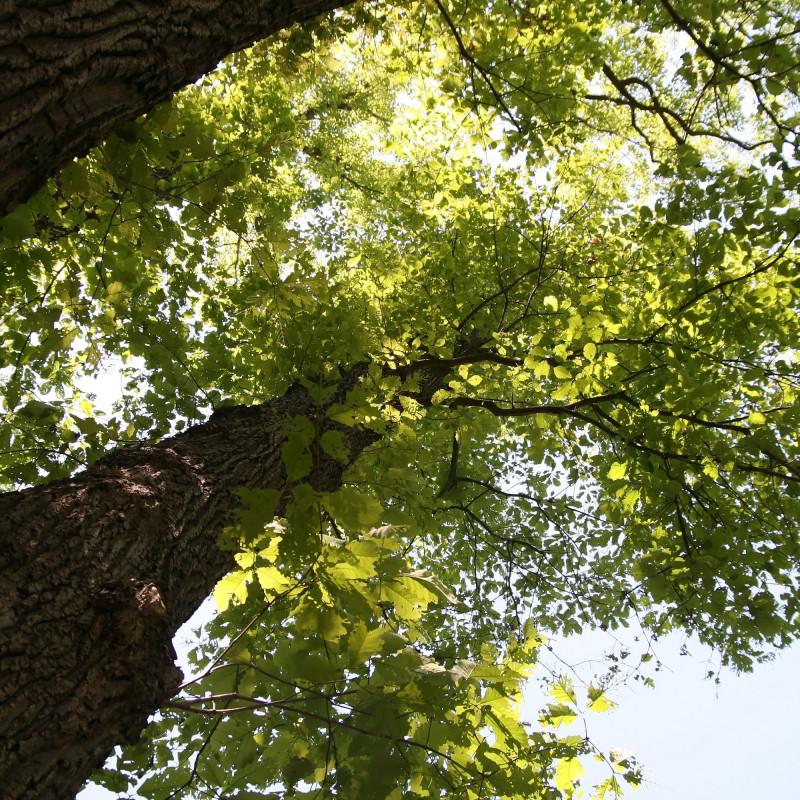Quercus prinus de David J. Stang, CC BY-SA 4.0, via Wikimedia Commons