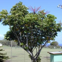 Schefflera actinophylla par Forêt et Kim Starr de Wikimedia commons