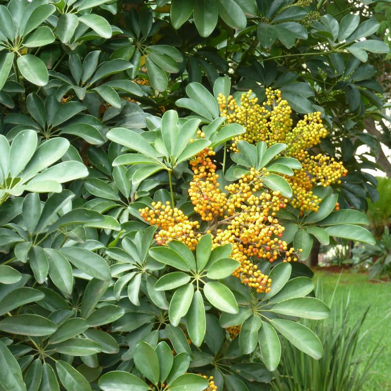 Schefflera arboricola par JMK de Wikimedia commons