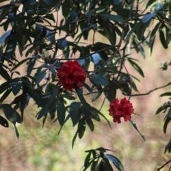 Rhododendron arboreum de Nirmal Dulal, CC BY-SA 4.0, via Wikimedia Commons
