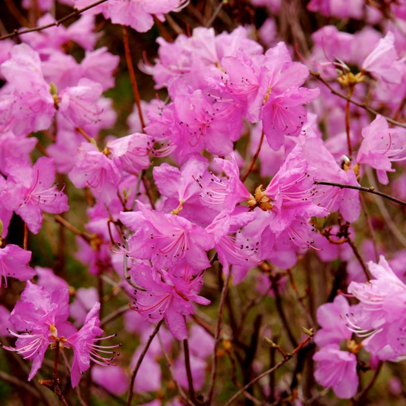 Rhododendron mucronulatum de Tae Hoon Kang, CC BY 2.0, via Wikimedia Commons
