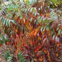 Rhus copallina de Plant Image Library from Boston, USA, CC BY-SA 2.0, via Wikimedia Commons