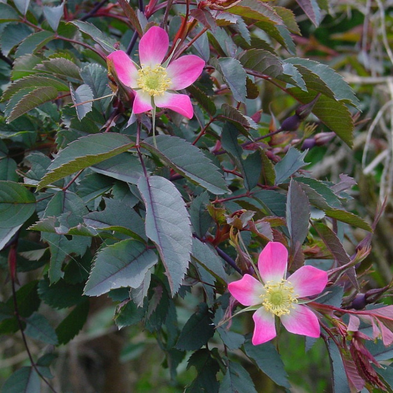 Rosa glauca par Wouter Hagens de Wikimedia commons