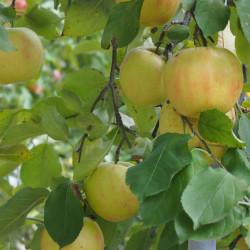 Malus pumila par harum.koh de Wikimedia commons