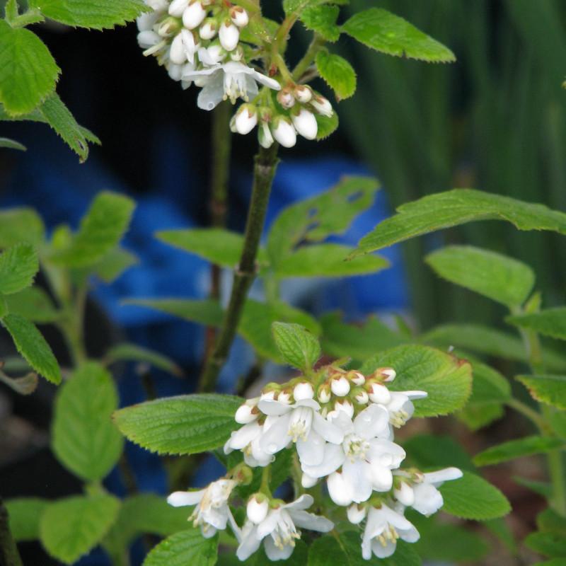 Jamesia americana par peganum de Wikimedia commons
