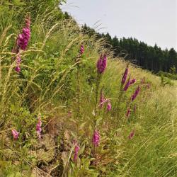 Digitalis purpurea par Semences du Puy