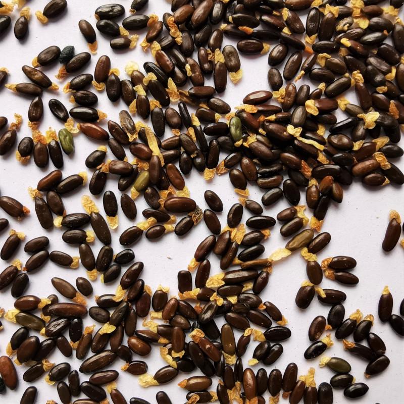 Graines d'Acacia riceana - Semences du Puy