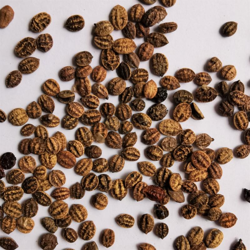 Graines de Viburnum ichangense  - Semences du Puy