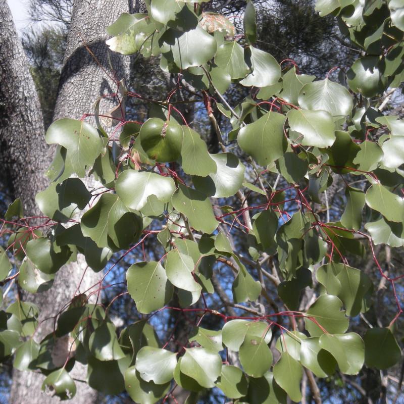 Eucalyptus populnea par Ethel Aardvark sur Wikipedia anglais