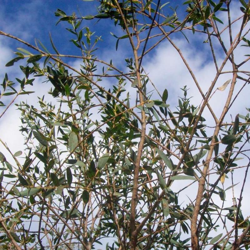 Eucalyptus parvula par Peter Woodard de Wikimedia commons