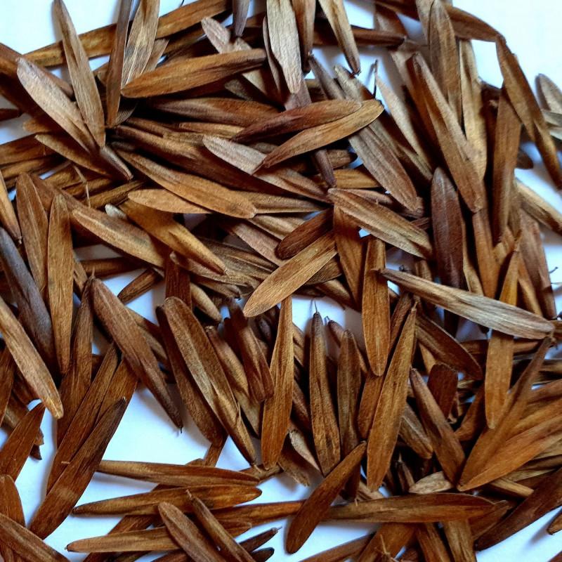 Fraxinus sogdiana par Semences du Puy