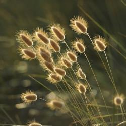Graminées vivaces - Graines et semences vivaces
