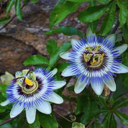 Graines de Passiflore | Vente Passiflora - Diverses variétés
